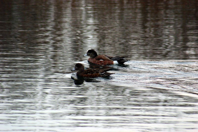 Wood Ducks, Humber Bay Park