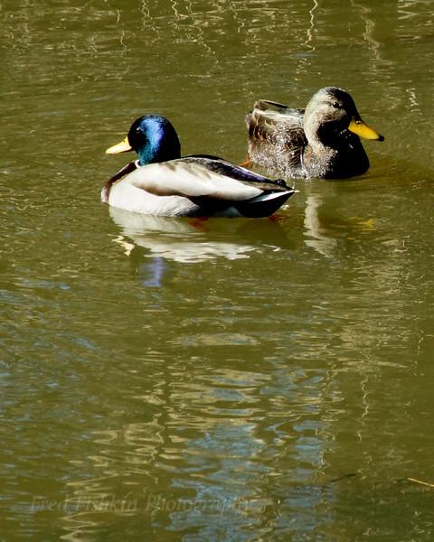 Ducks Delaware.jpg