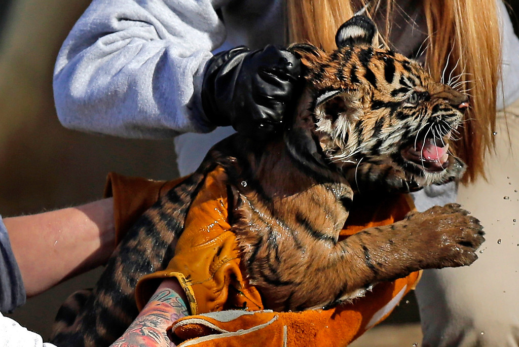 """. A female Sumatran Tiger cub named Sukacita is lifted by biologist Leigh Pitsko (R) after the cub performed her \""""swim test\"""" in a moat of the Great Cats exhibit at the National Zoo November 6, 2013 in Washington, DC. (Photo by Win McNamee/Getty Images)"""