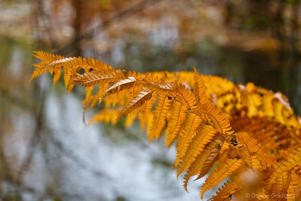 late season ferns, Acadia National Park