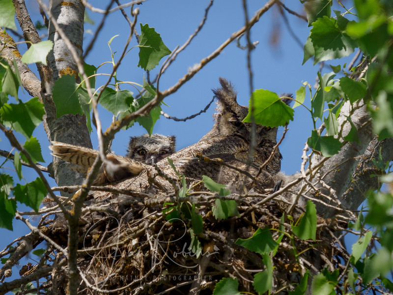 Great-horned Owlets Gray Lodge Lot 18