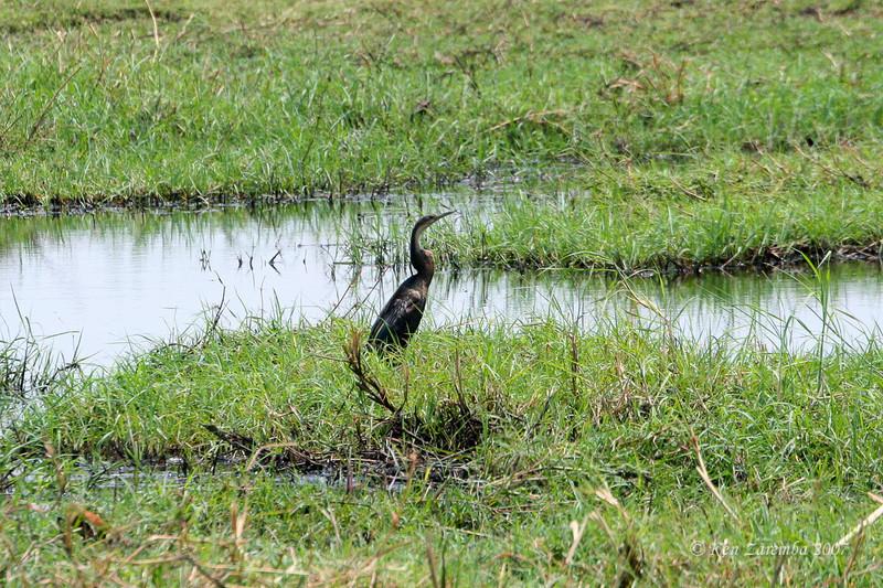 African Darters or Snake Bird (aka: Anhinga), Chobe National Park, Botswana