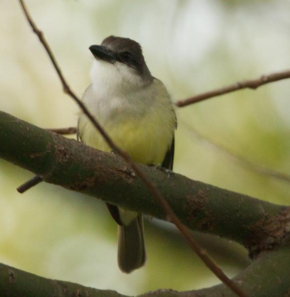 Thick-billed Kingbird Chula Vista 2015 01 31-3.CR2