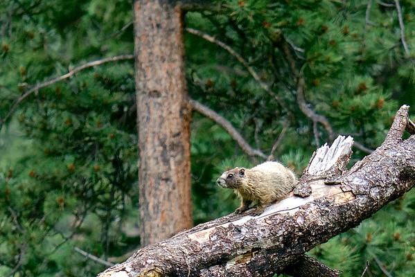 Marmots in Staunton State Park