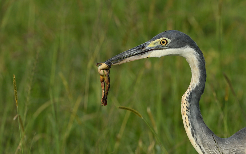 Grey-heron-frog-snack-masaimara.jpg