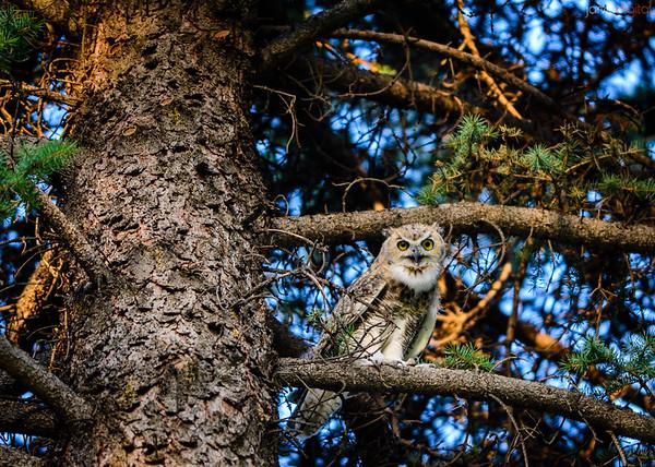 Ephraim Owls
