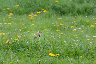 Goldfinch, European (ssp. carduelis)