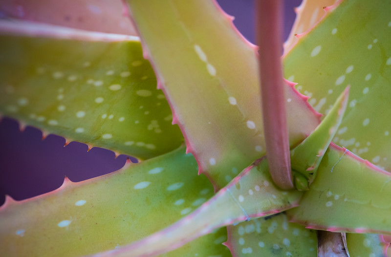 Aloe eumassawana