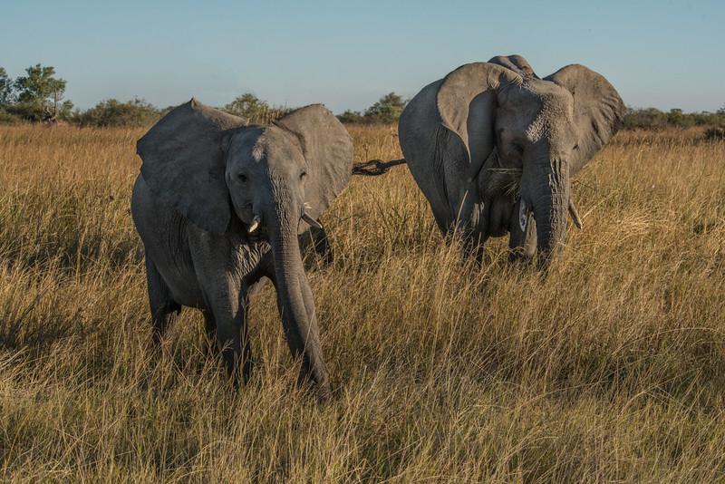 Z_3_2006_A_African Elephants.jpg