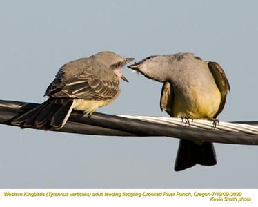 WesternKingbirdsA&J3029.jpg