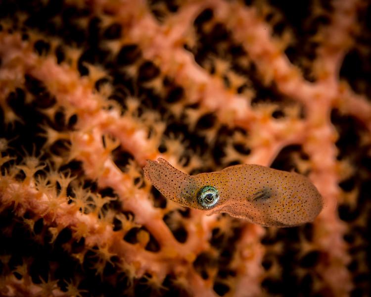 unknown Squid