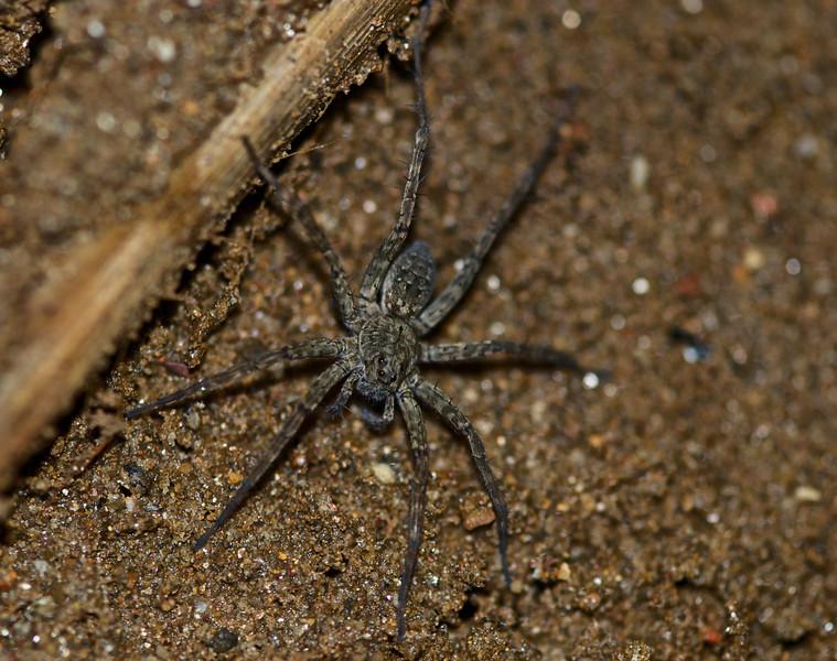 Wolf Spider - Vietnam