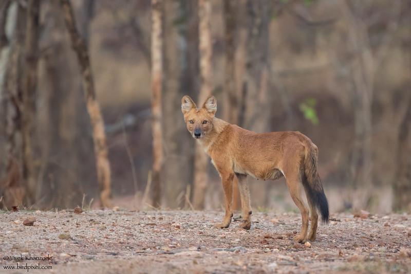 Dhole (Indian Wild Dog) - Pench National Park, India