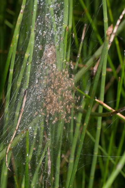 Pisaurina mira Nursery Web Spider spiderlings East Stone Lake Bog BioBlitz VI FOSZB Sax-Zim Bog MNIMG_0162.jpg