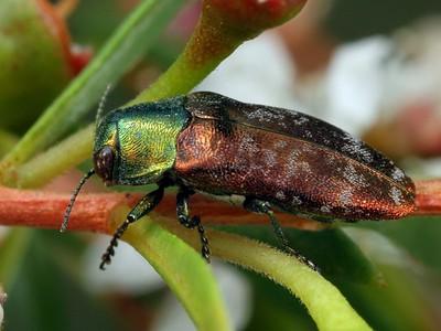 genus Diphucrania