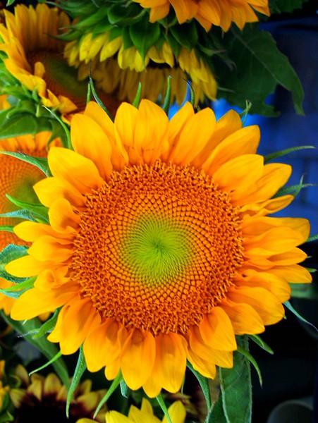 sunflower_charlesh_42_20141019_1980356126.jpg