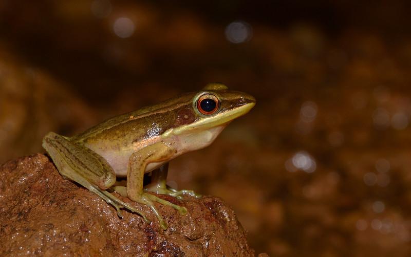 Golden-frog-agumbe.jpg