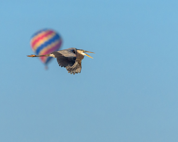 Great Blue with Balloon