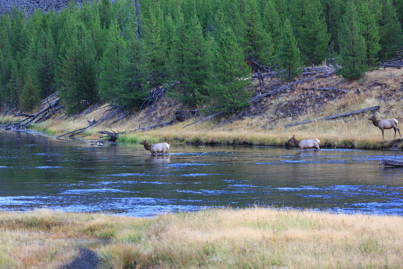 Elk Rut along the Madison River 008