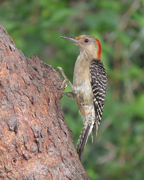sx50_red_bellied_woodpecker_bit_396.jpg
