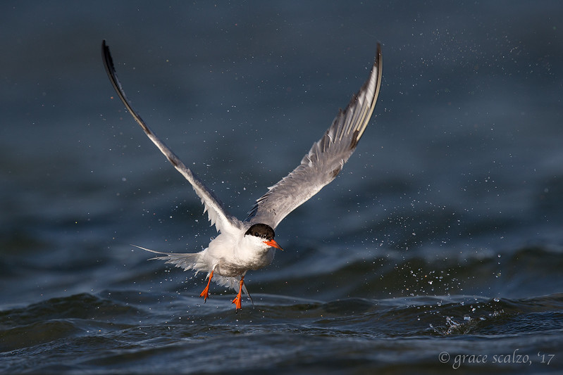 Common Tern after bath leap