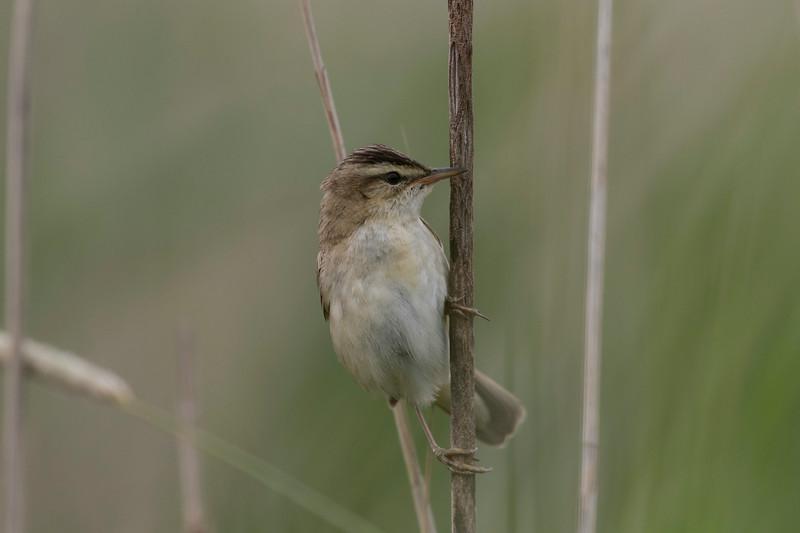 rietzanger, rsedge warbler