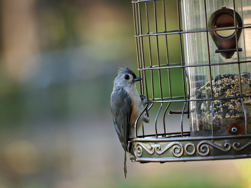 blackcrestedtitmouse.jpg