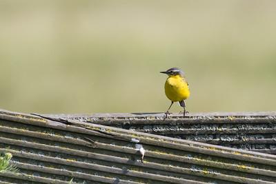 vogels ackerdijk zomer 2018