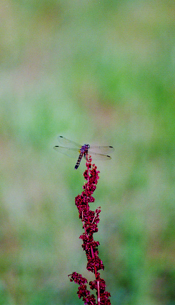 dragonfly on flower (1).jpg