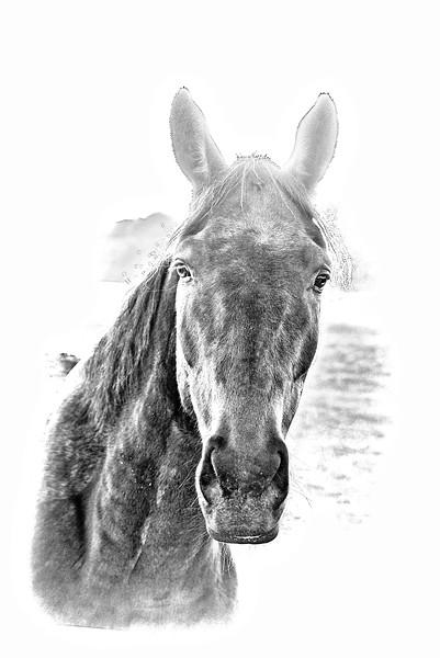Horse in white lg.jpg