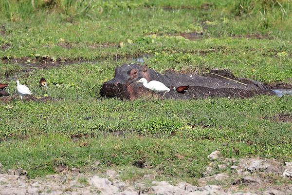 Hippo Amboseli and Mara Reserve Kenya 2017