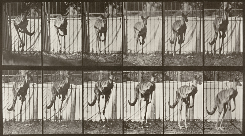 Kangaroo jumping (Animal Locomotion, 1887, plate 754)