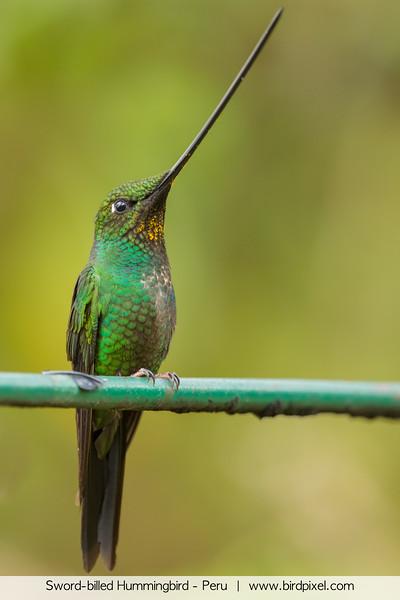Sword-billed Hummingbird - Peru