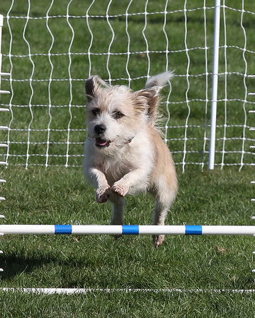 Toy Dog Agility competition Medford, Oregon Sept 24