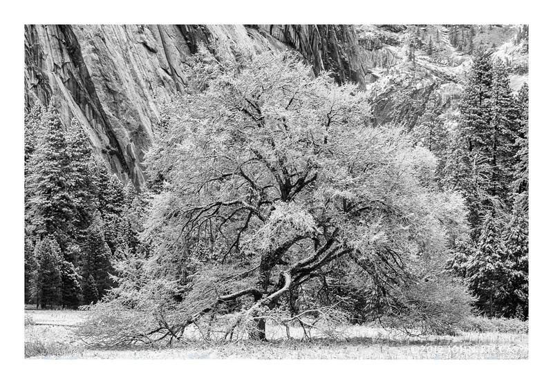 Cooks Meadow Elm In Snow.jpg