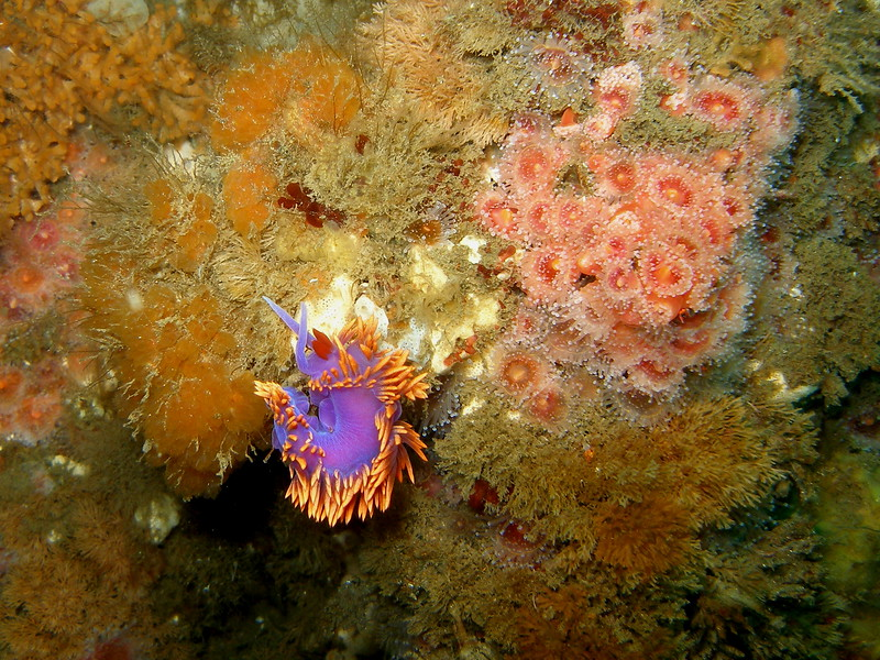 Spanish Shawl curled up with Corynactis at the Wreck of the Peacock, Scorpion Harbor, Santa Cruz Island, CA