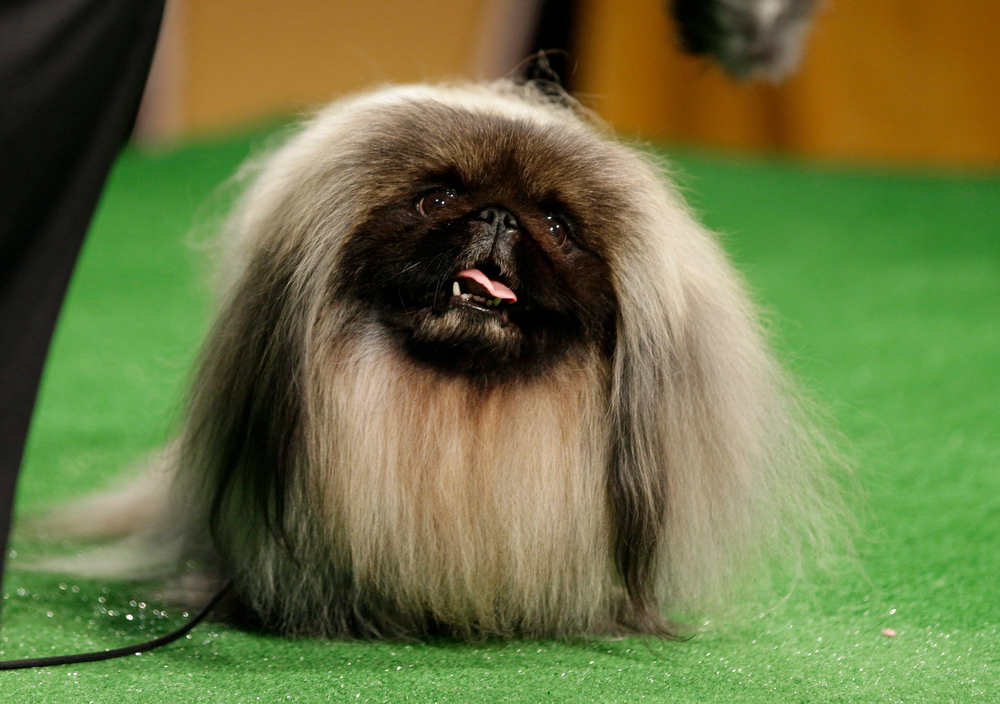 Description of . 2012 Westminster Kennel Club dog show best in show winner, Malachy, a Pekingese, is shown during a press conference to announce the 137th Annual Westminster Kennel Club dog show Thursday, Feb. 7, 2013, in New York. (AP Photo/Frank Franklin II)