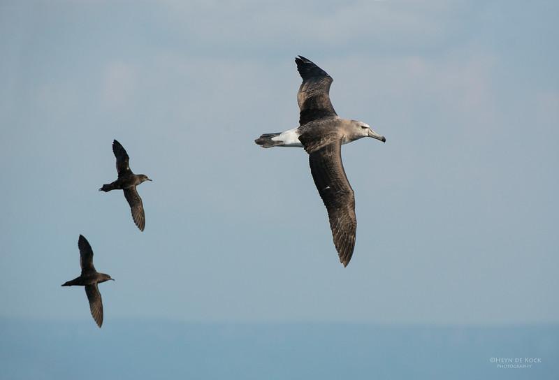 Shy Albatross, imm, Wollongong Pelagic, NSW, Aus, Oct 2013-1.jpg