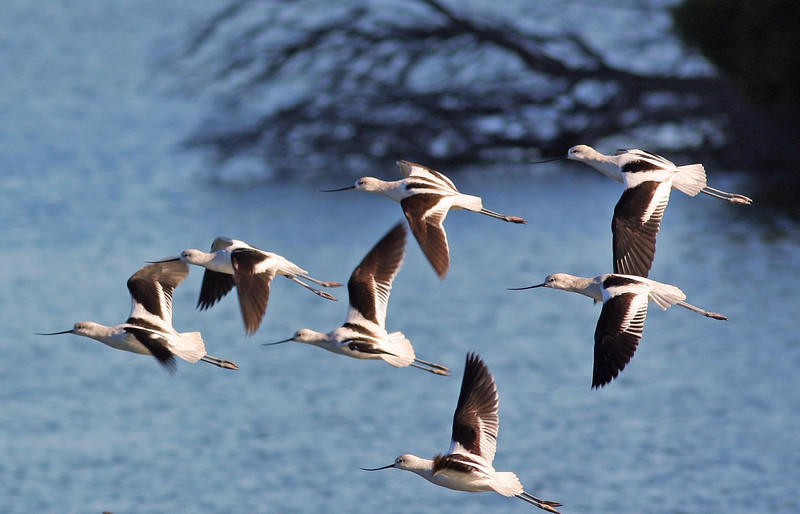 Avocets fly-by (Las Gallinas)