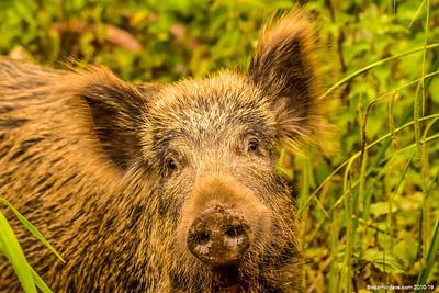 Greeting Cards - Wild Boar
