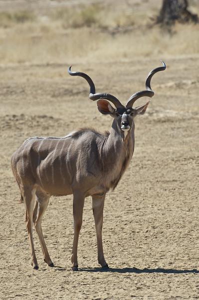 Old kudu bull, Kgaligadi Transfrontier Park, South Africa