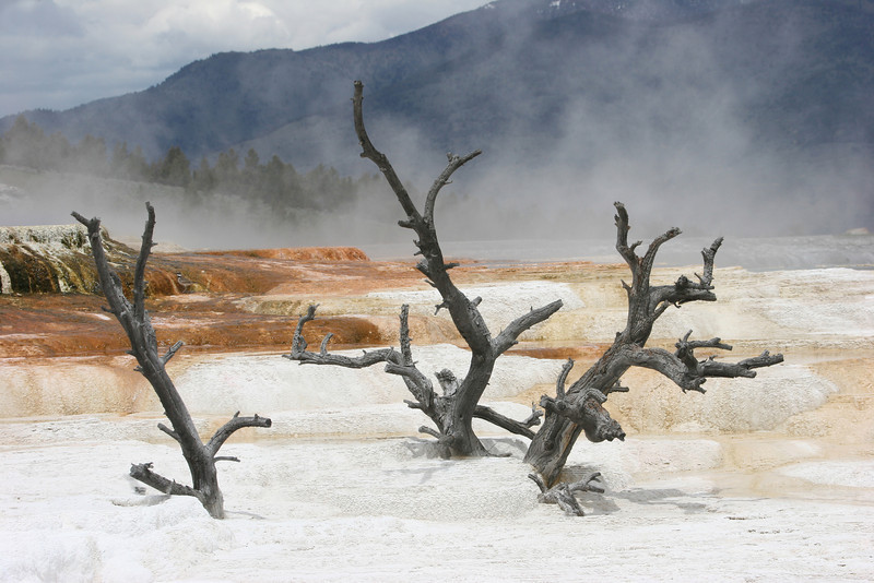 petrified trees at mammoth Hot Spring Terraces