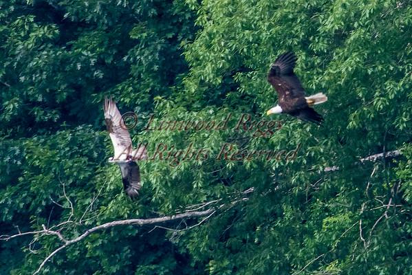 Eagle-Osprey chase scene 7-9-15