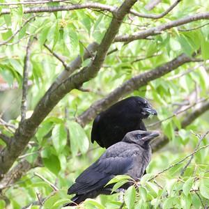 Jays, Crows & Ravens
