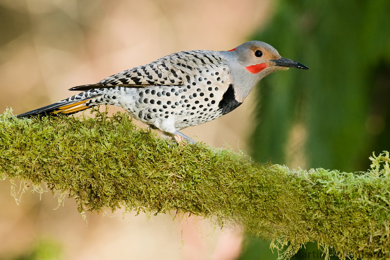 Northern Red Shafted Flicker on a mossy branch.