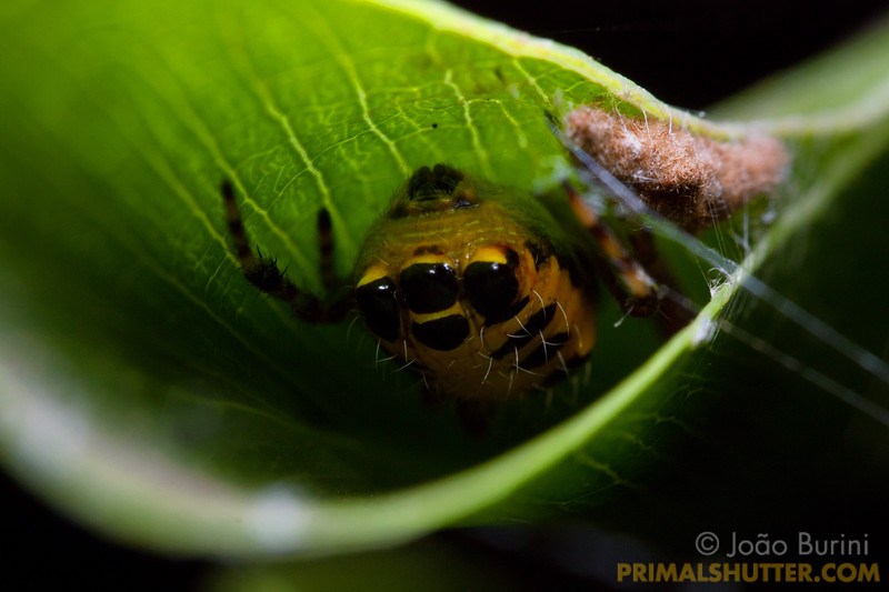 Rear end of a orb weaver mimicking eyes