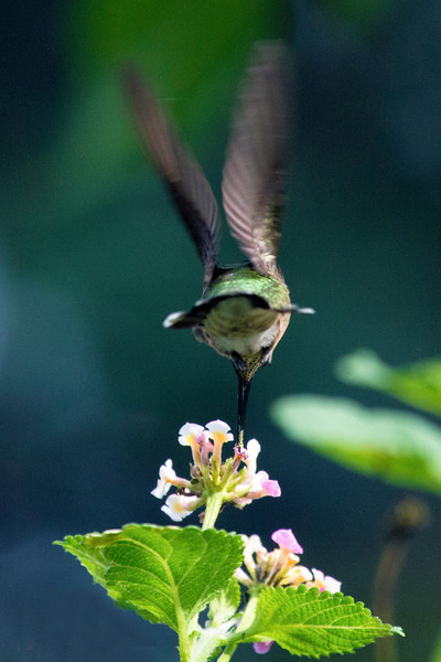 Ruby-throated humming bird,6