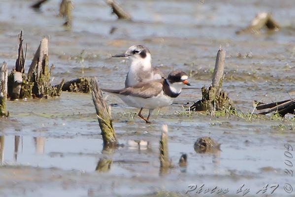 2009-08-12 Riverlands Migratory Bird Sanctuary