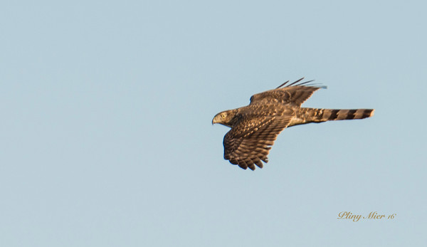 Cooper's Hawk IF_DWL1734.jpg