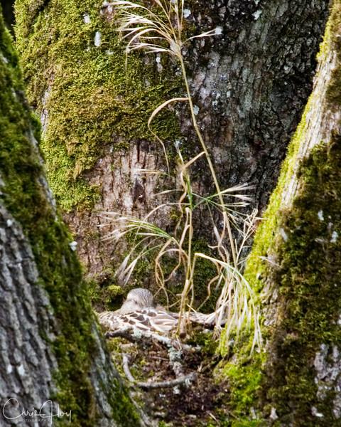Mallard Hen in an Oak Tree near Kettle Foods, Salem